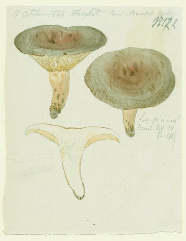 Lactaire enfumé ; champignon_0