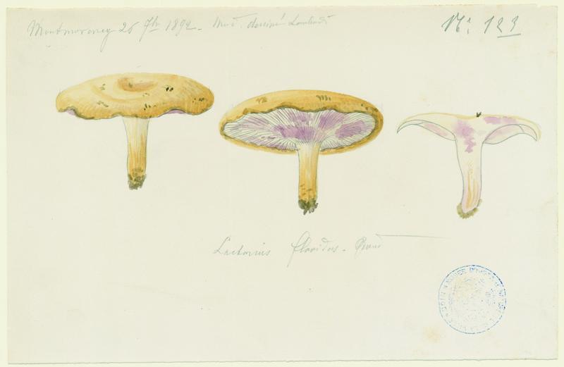 LOMBARDI Charles : Lactaire jaunâtre, champignon