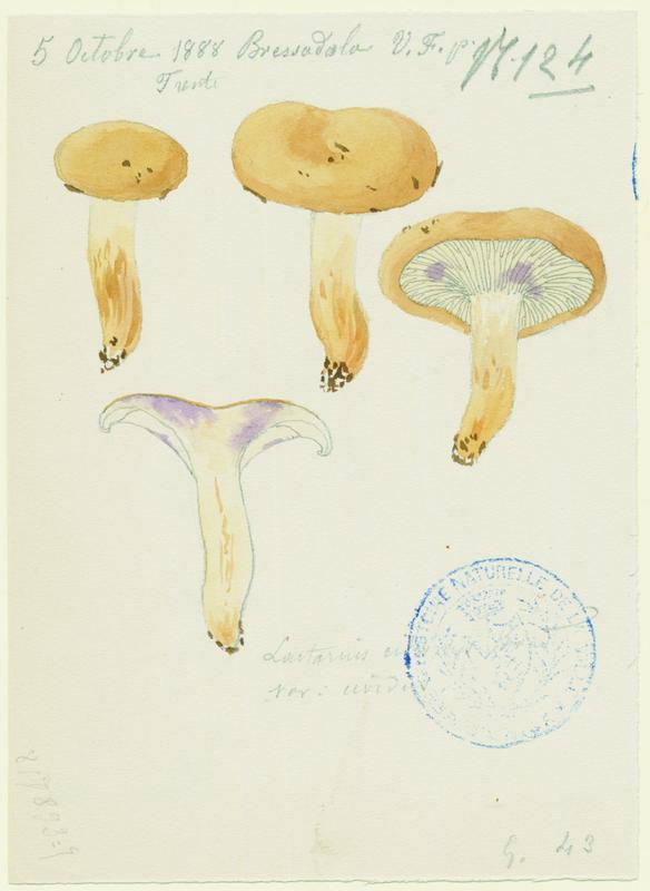 FOSSAT Vincent (aquarelliste, peintre) : Lactaire, champignon