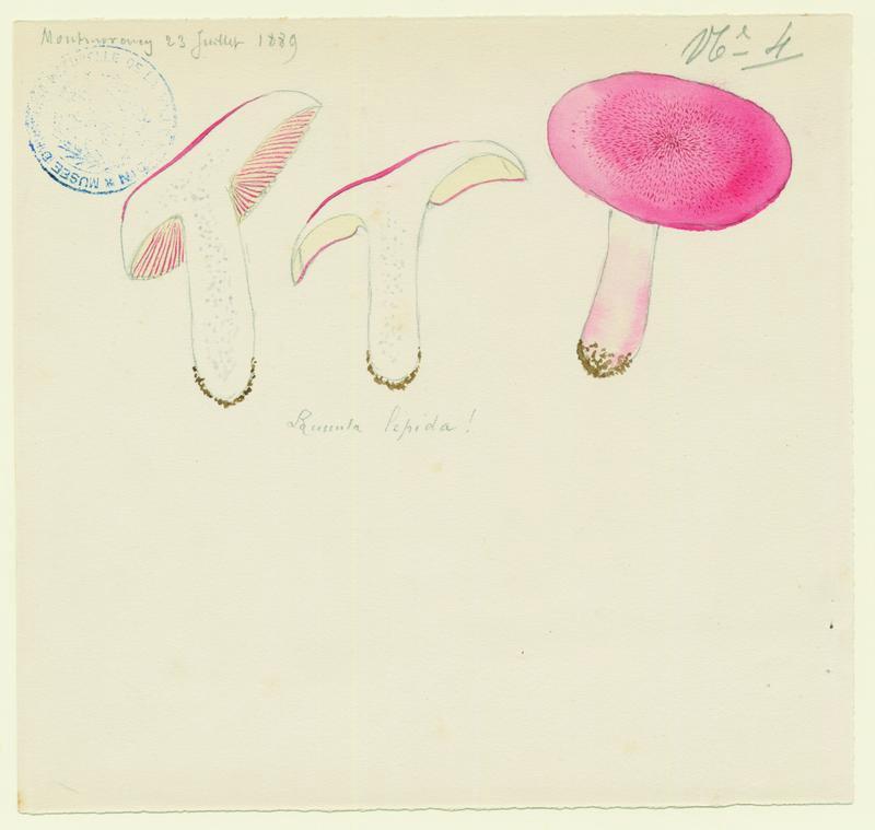 BARLA Jean-Baptiste (attribué à) : Russule jolie, champignon