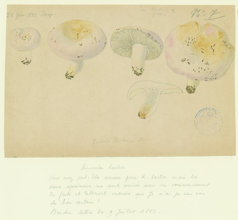 BARLA Jean-Baptiste (attribué à) : Russule, champignon