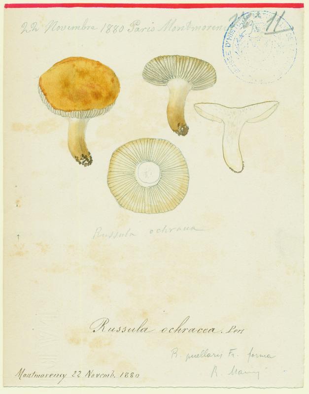 BARLA Jean-Baptiste (attribué à) : Russule ochracée, champignon