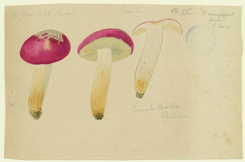 Russule de Barla ; champignon_0