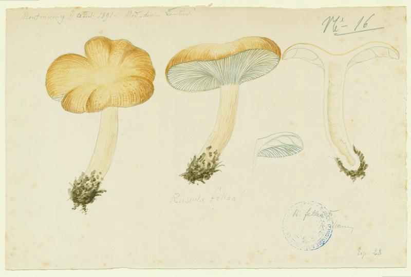LOMBARDI Charles : Russule de fiel, champignon