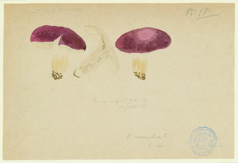 BARLA Jean-Baptiste (attribué à) : Russule des épicéas, champignon
