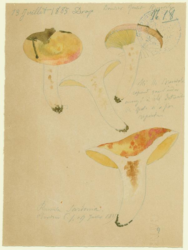 Russule sardoine ; champignon_0
