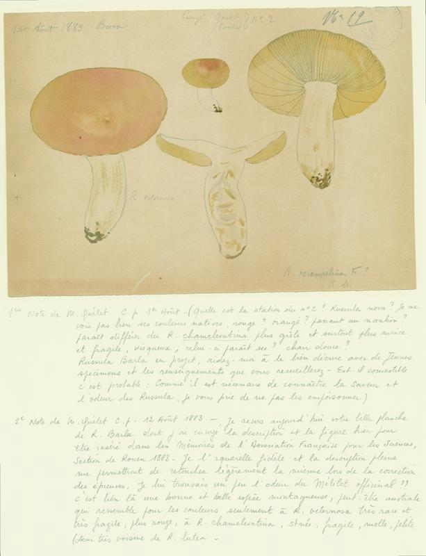 BARLA Jean-Baptiste (attribué à) : Russule rose bonbon, champignon