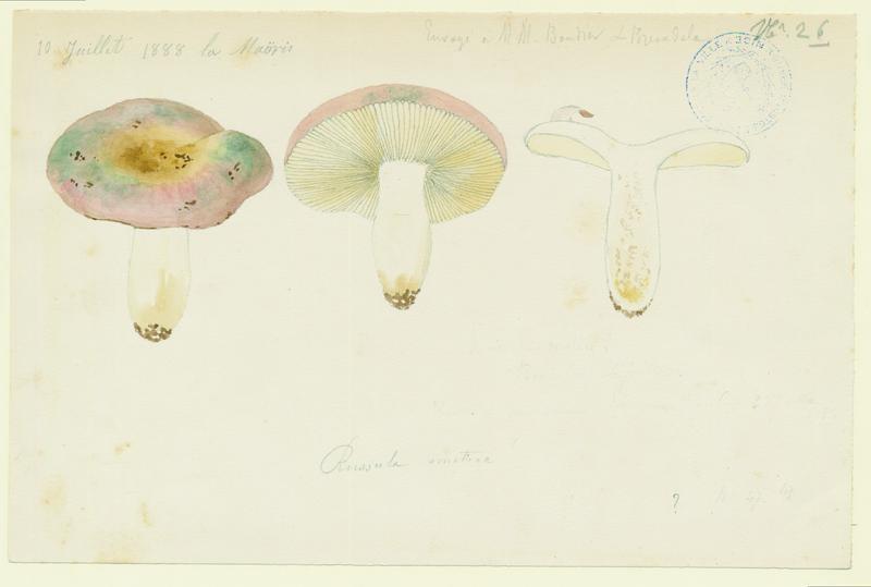 BARLA Jean-Baptiste (attribué à) : Russule émétique, Lera coulou de vin, champignon