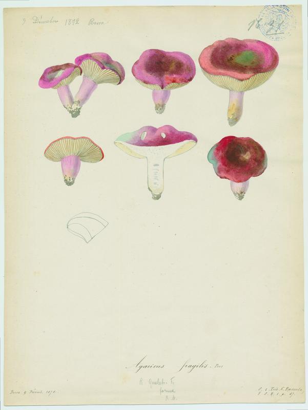 Russule fragile ; champignon
