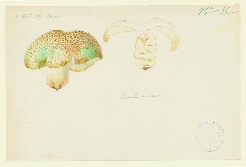 BARLA Jean-Baptiste (attribué à) : Russule verdoyante, champignon
