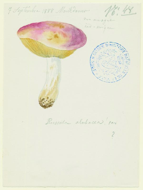 Russule alutacée ; champignon
