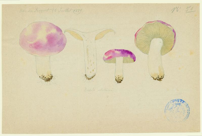 Russule alutacée ; champignon_0