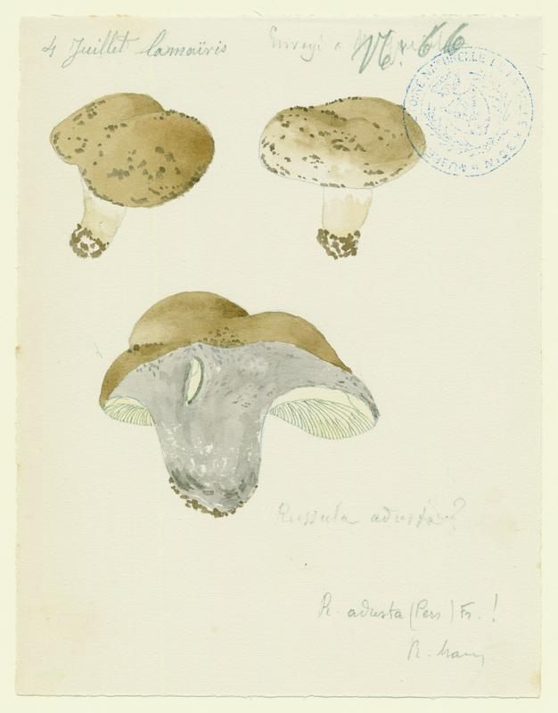 Russule brûlée ; champignon