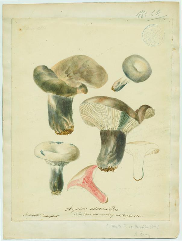 BARLA Antoinette : Russule brûlée, Sanguin moro, champignon