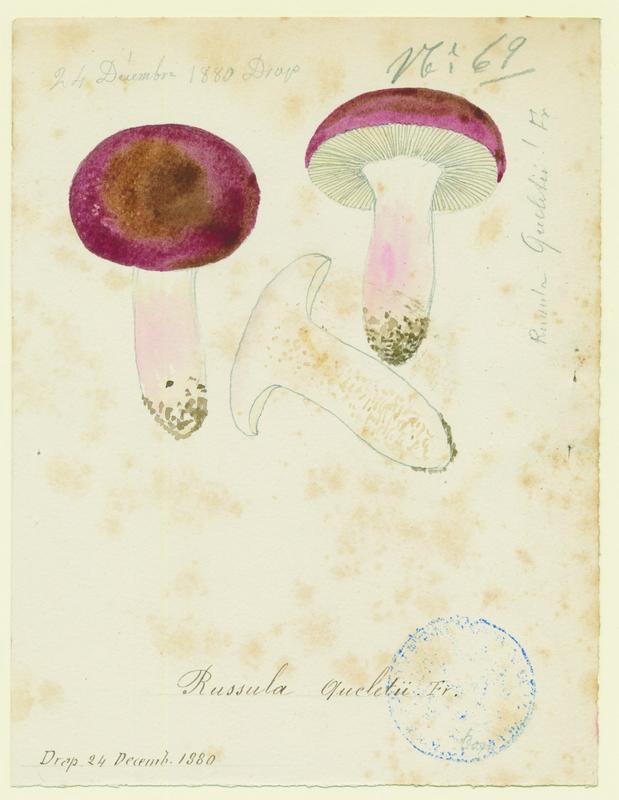 Russule de Quélet ; champignon_0
