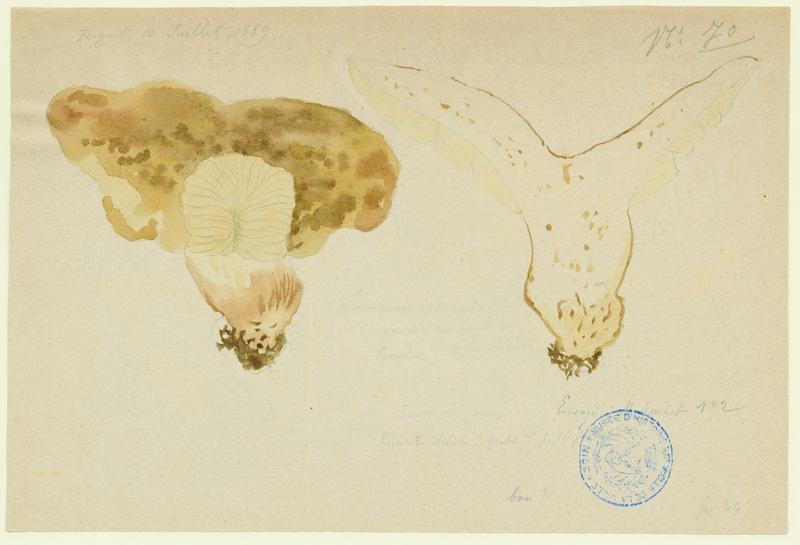 Russule faux-lactaire ; champignon