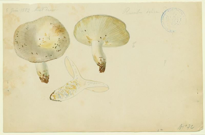Russule faux-lactaire ; champignon_0