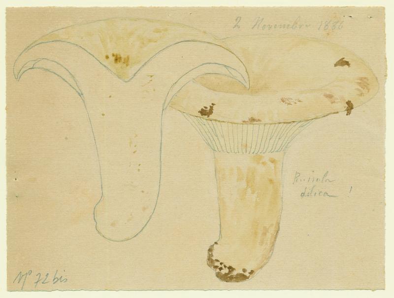 Russule faux-lactaire ; Russule sans lait ; champignon_0