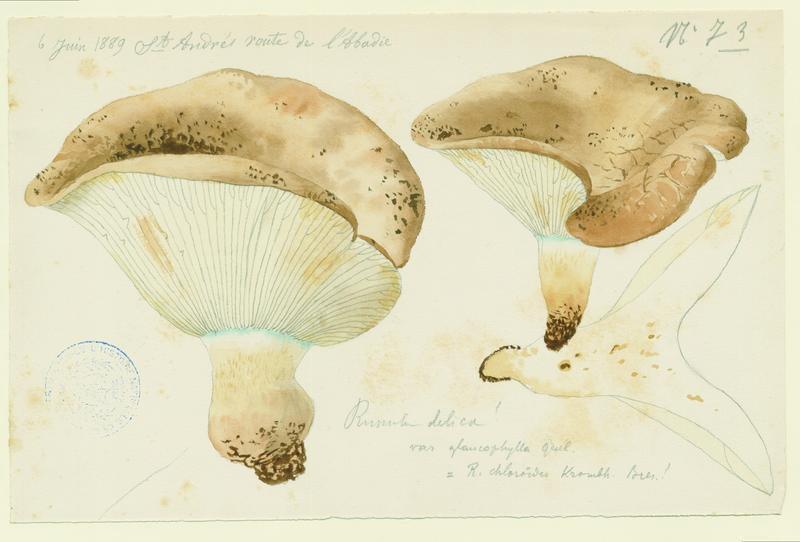 BARLA Jean-Baptiste (attribué à) : Russule faux-lactaire, Russule sans lait, champignon
