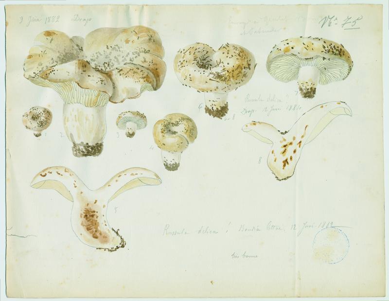 Russule faux-lactaire ; Russule sans lait  ; champignon