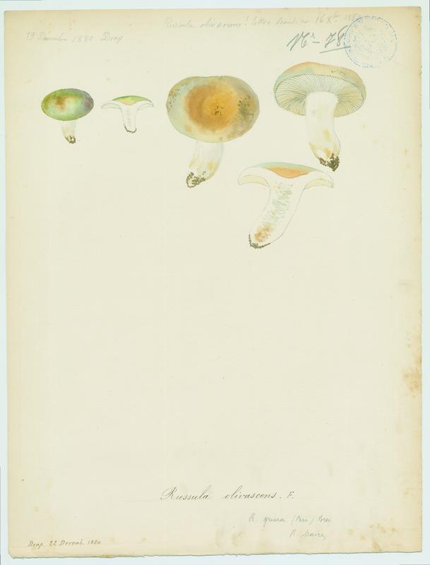 BARLA Jean-Baptiste (attribué à) : Russule olivâtre, champignon