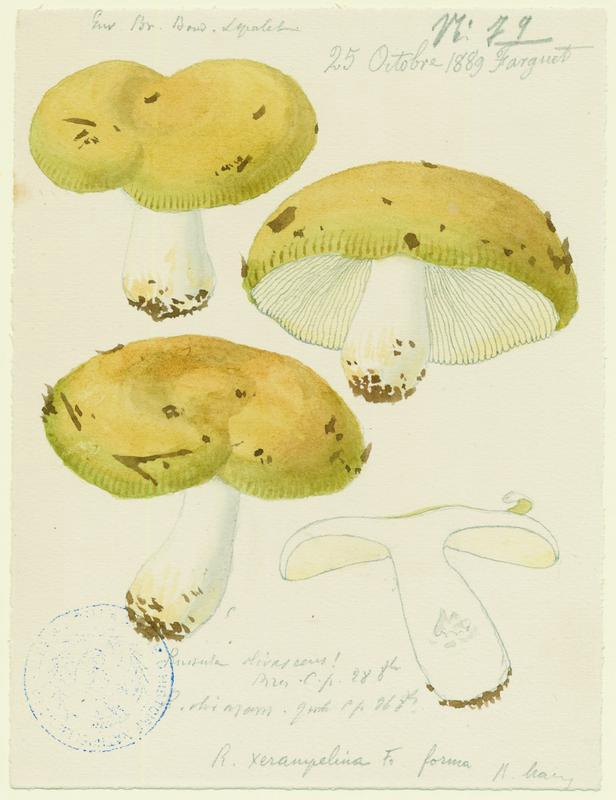 Russule olivâtre ; champignon_0