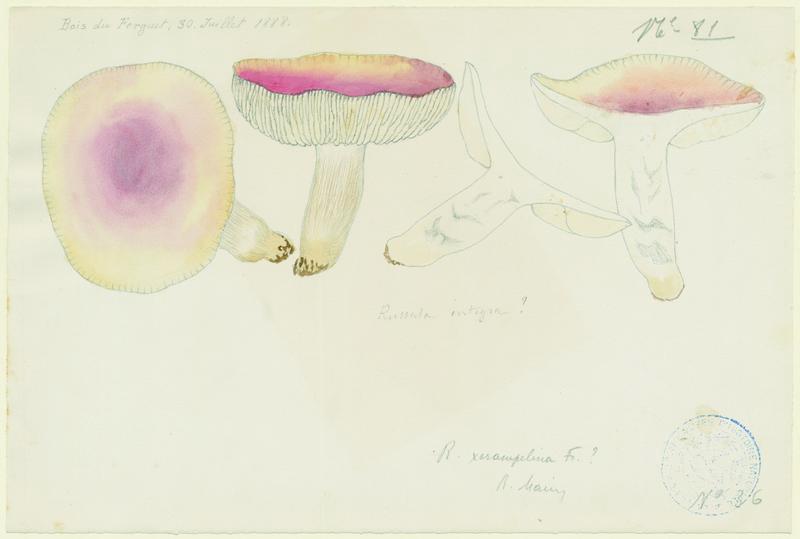 Russule des épicéas ; Russule intègre ; champignon
