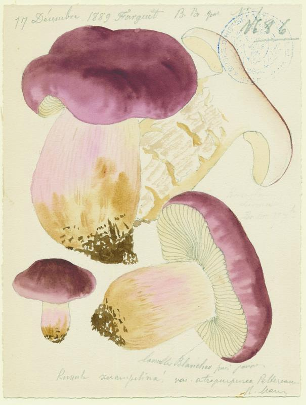 Russule écrevisse ; Russule xérampéline ; champignon_0