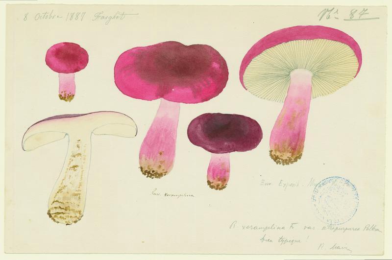 BARLA Jean-Baptiste (attribué à) : Russule écrevisse, Russule xérampéline, champignon