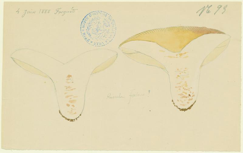 Russule fétide ; champignon_0