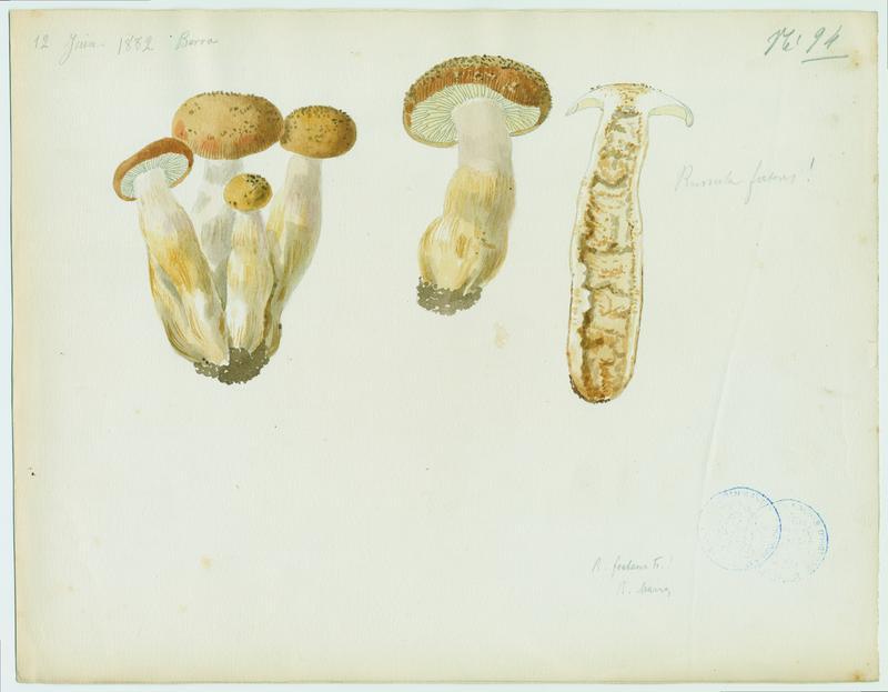 Russule fétide ; champignon