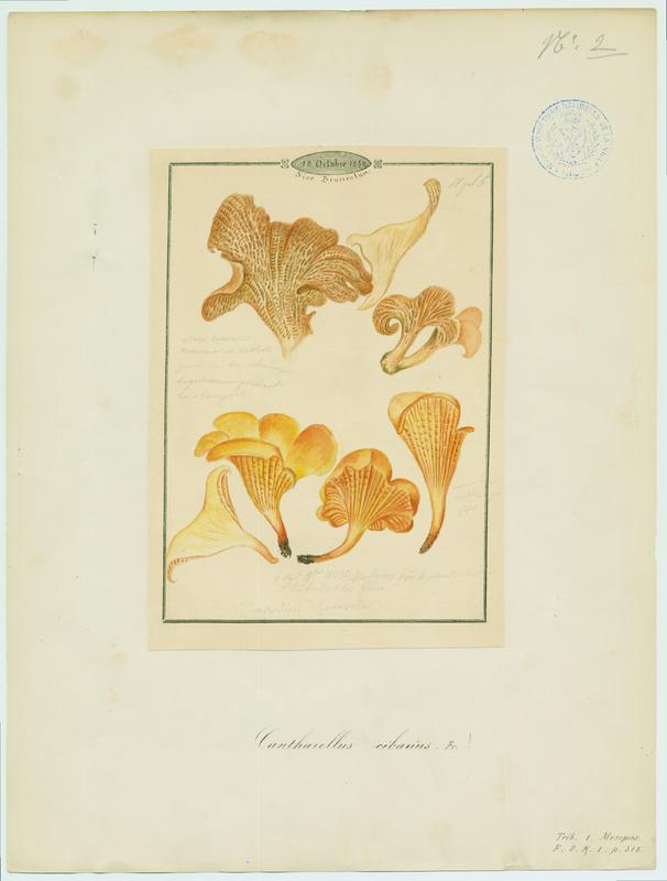 BARLA Jean-Baptiste (attribué à) : Girolle, Chanterelle, Jaunotte, Jauniré, champignon