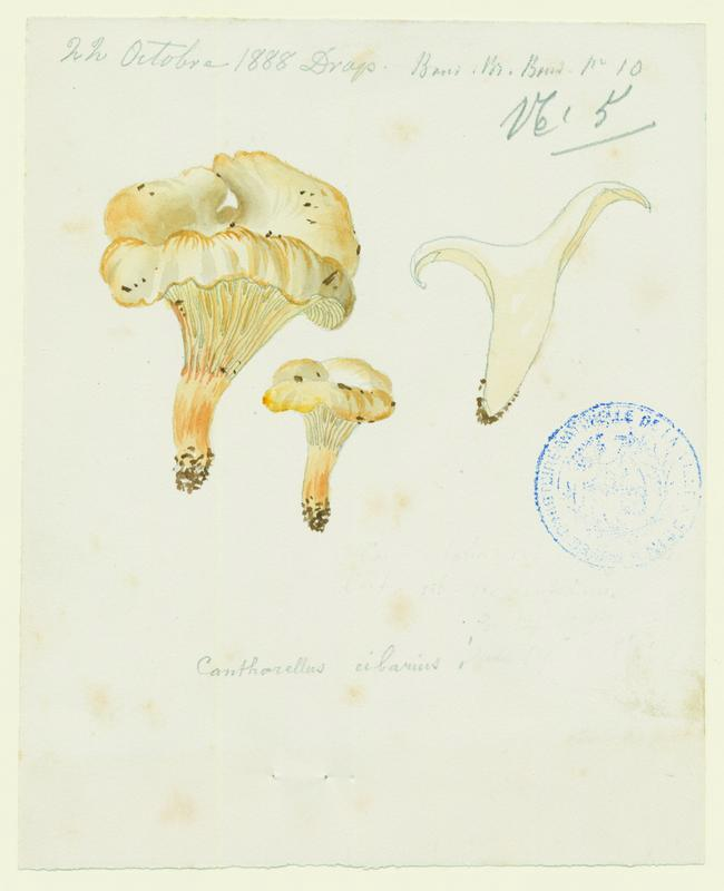 Girolle ; Chanterelle ; Jaunotte ; Jauniré ; champignon_0
