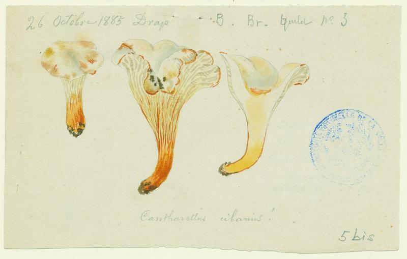Girolle ; Chanterelle ; Jaunotte ; Jauniré ; champignon