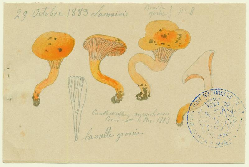 Clitocybe orangé ; champignon_0