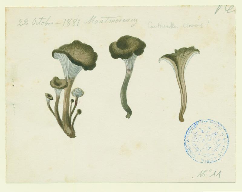 Chanterelle cendrée ; champignon_0