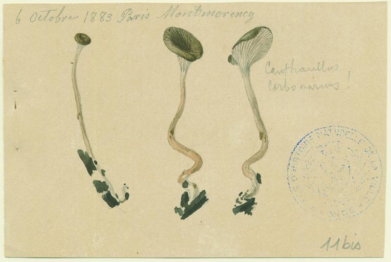 BARLA Jean-Baptiste (attribué à) : Fausse-chanterelle des charbonnières, champignon
