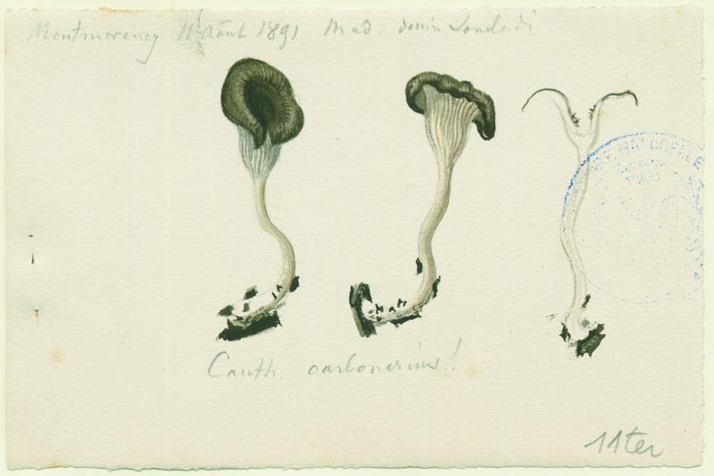 Fausse-chanterelle des charbonnières ; champignon