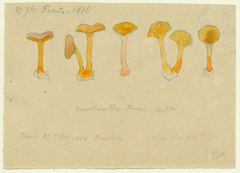 Girolle abricot ; champignon_0
