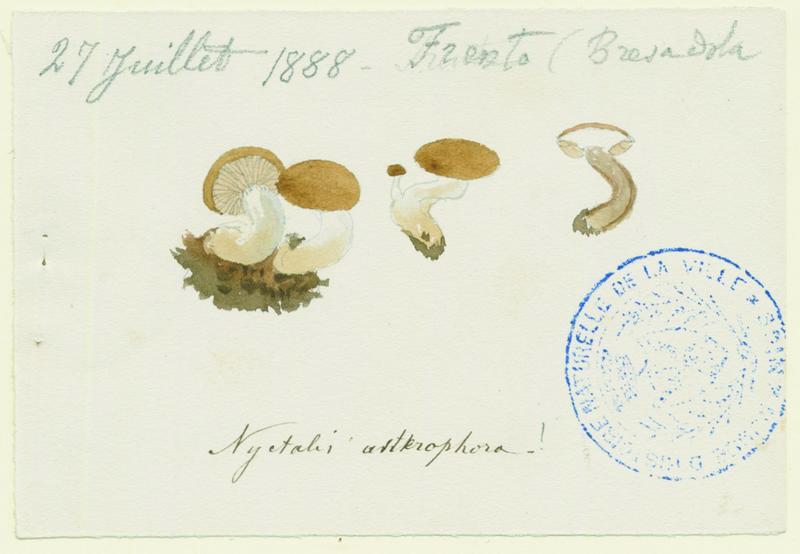 Asterophore parasite ; Nyctalis parasite (?) ; champignon_0
