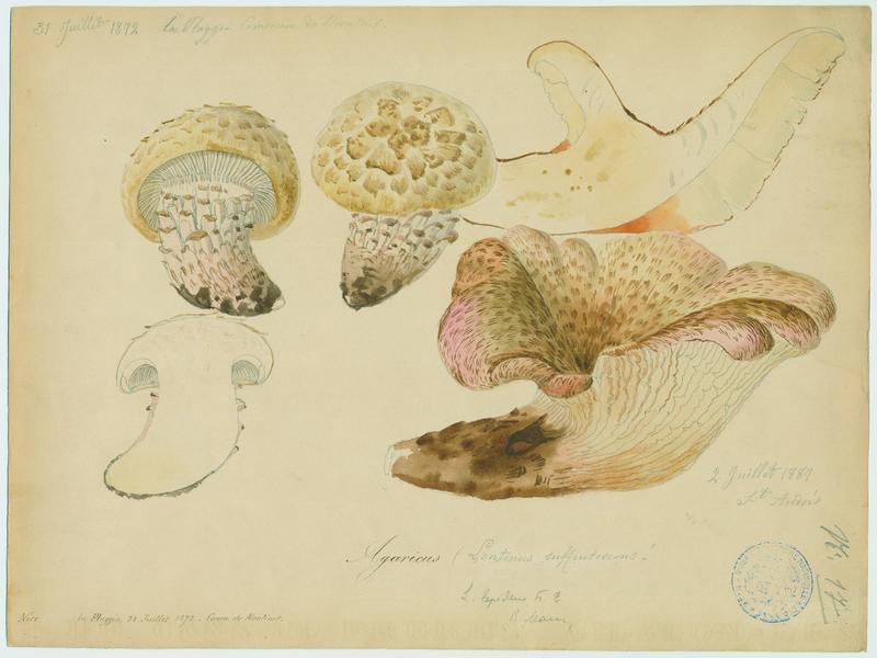 Lentin écailleux ; champignon