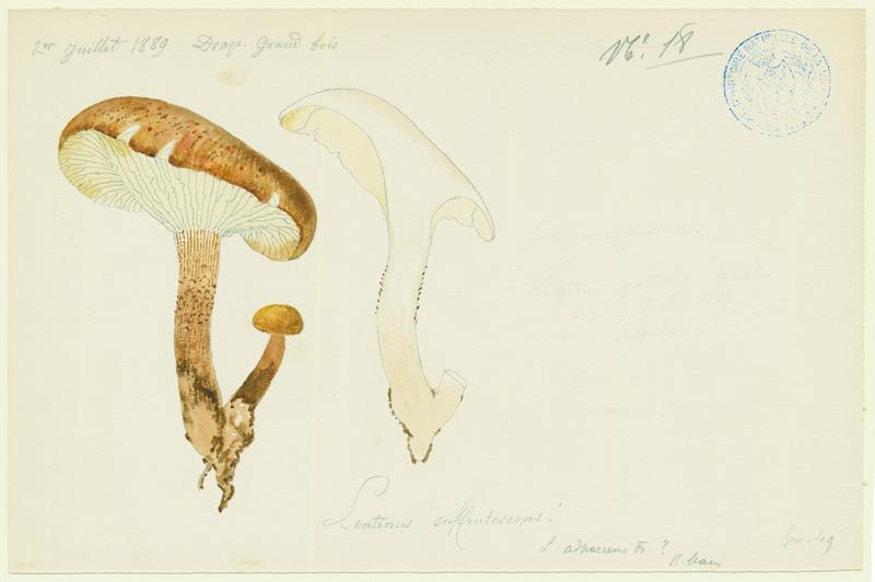BARLA Jean-Baptiste (attribué à) : Lentin écailleux, champignon