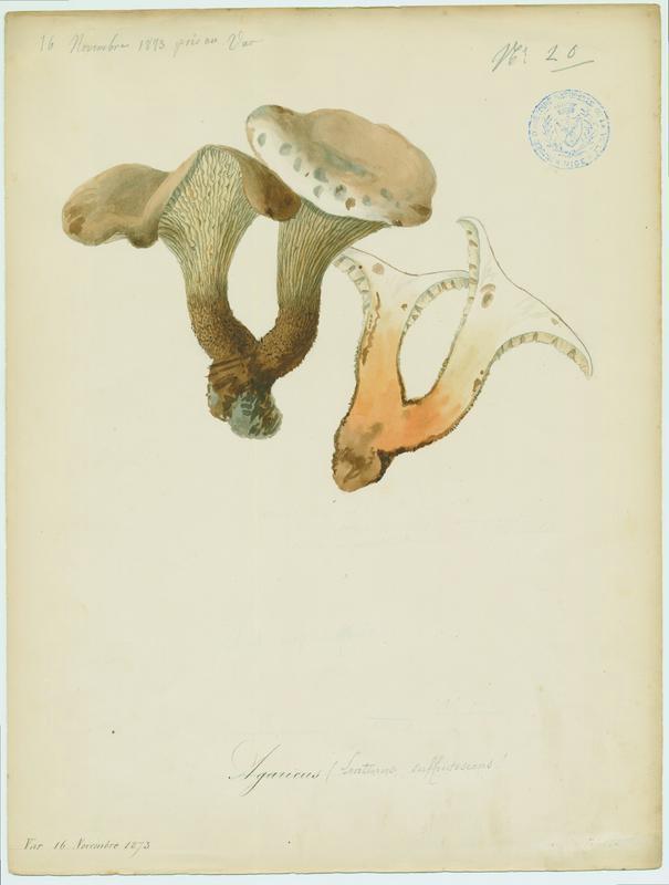 Lentin écailleux ; champignon_0
