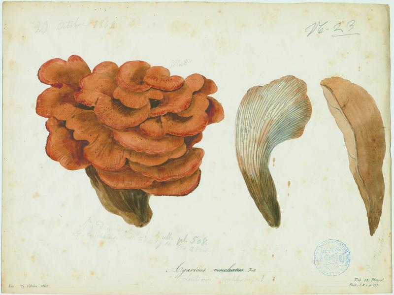 Lentin coquillage ; champignon