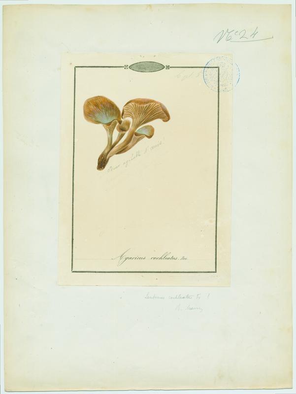 Lentin en colimaçon ; champignon
