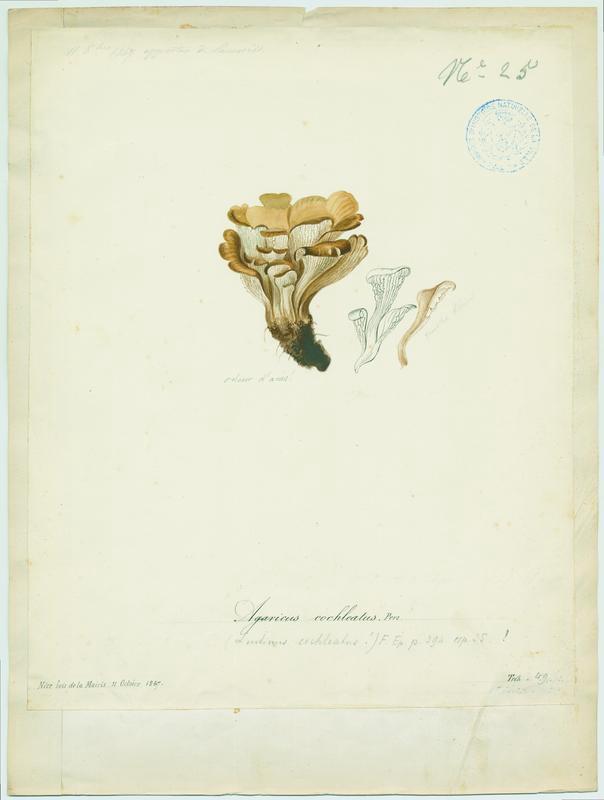 BARLA Jean-Baptiste (attribué à) : Lentin en colimaçon, champignon