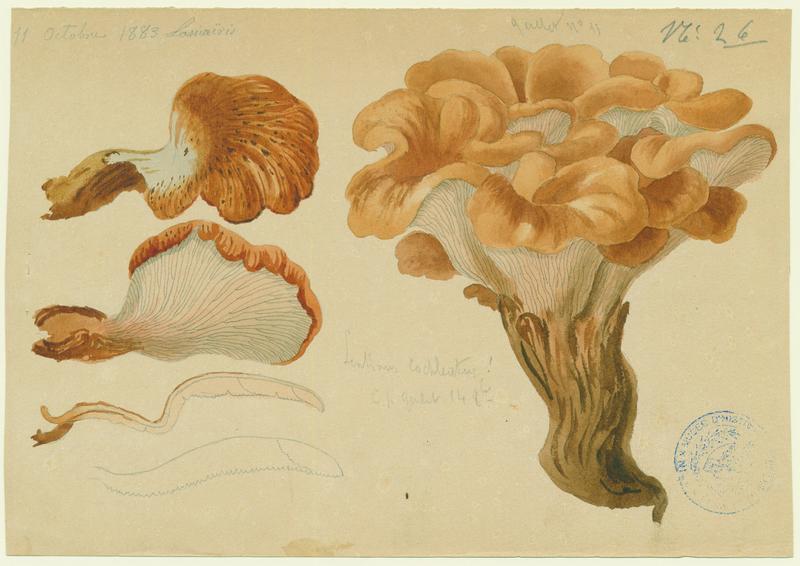 BARLA Jean-Baptiste (attribué à) : Lentin en colimaçon  (?), champignon