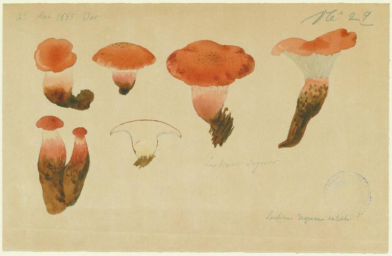 Lentin de Schaeffer ; champignon_0