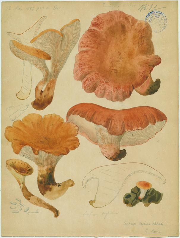 Lentin de Schaeffer ; champignon