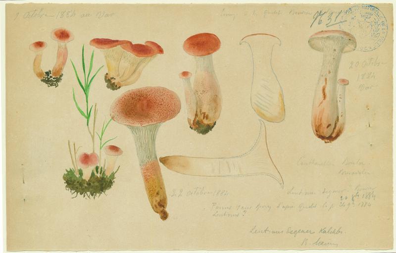 BARLA Jean-Baptiste (attribué à) : Lentin de Schaeffer, champignon